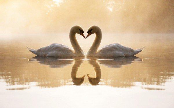 aşık kuğular
