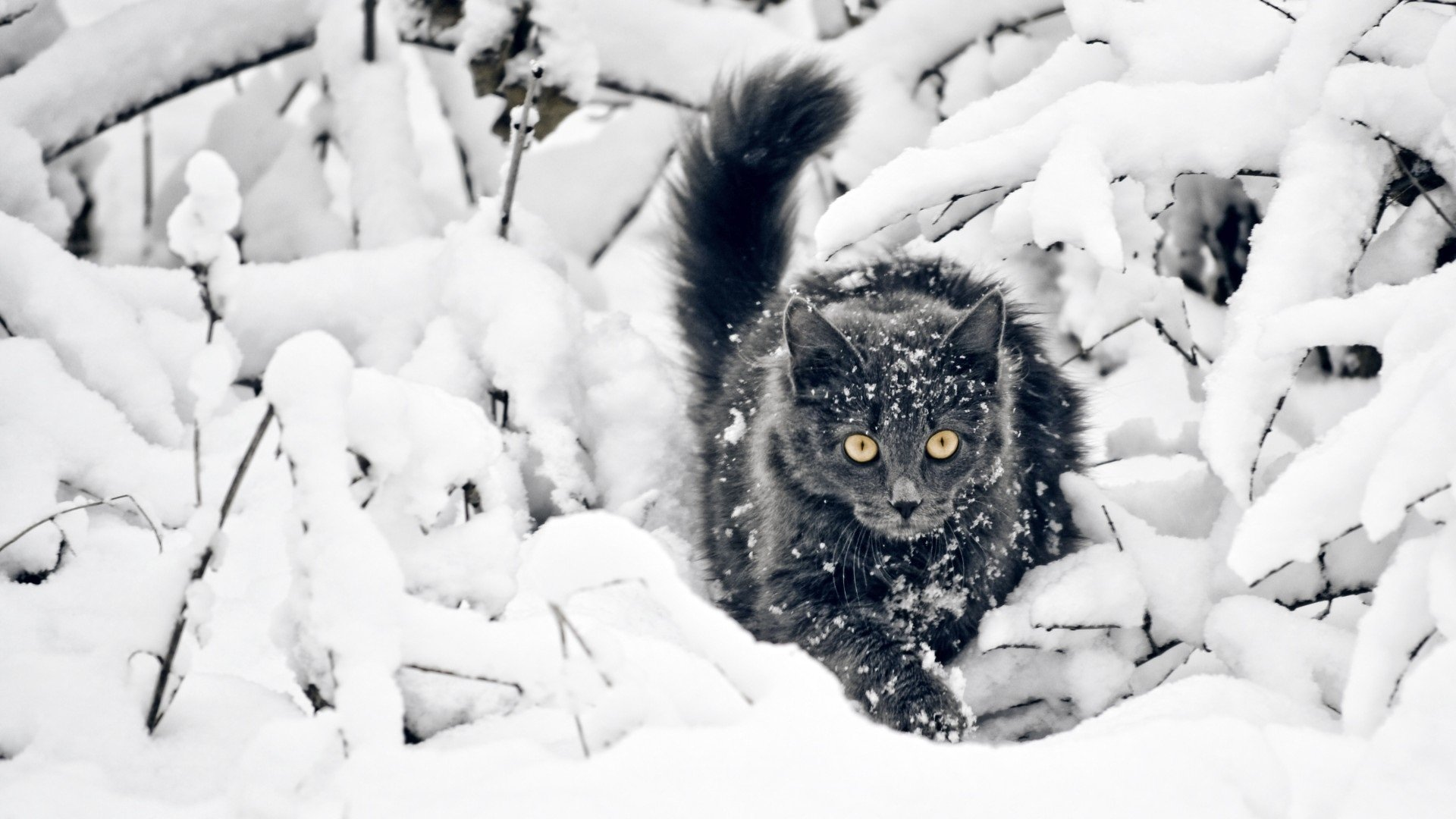 kar içinde siyah kedi